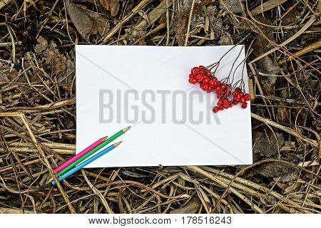 White sheet of paper, pencils and red berries of viburnum