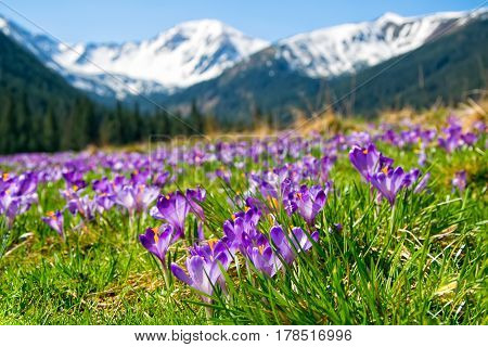 Beautiful meadow with blooming purple crocuses on snowcaped mountains background. Chocholowska valley Tatra Mountains Carpathians Poland