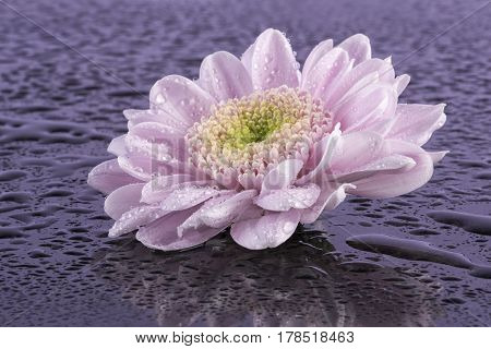 Macro image of a pretty pink chrysanthemum with water droplets. Taken on a reflective black background.