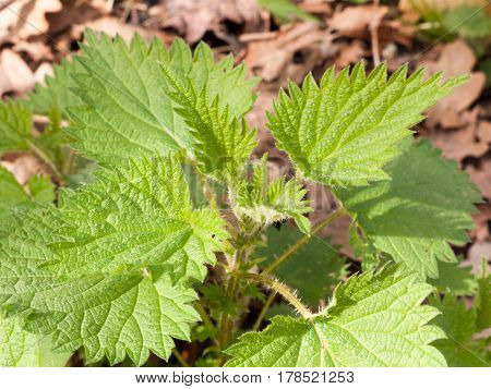 A bunch of stinging nettles on the floor