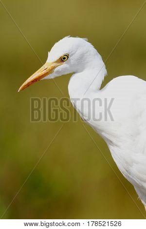 Cattle Egret (Bubulcus ibis) in the Florida Everglades