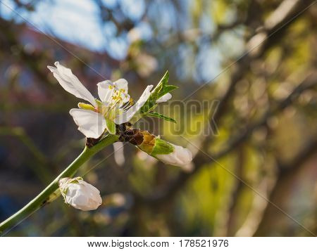The beautifully blooming cherry flower on the branch
