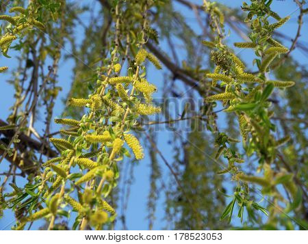 The green and blooming branches of willow