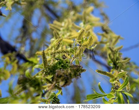 The blooming beautiful branches of willow closeup