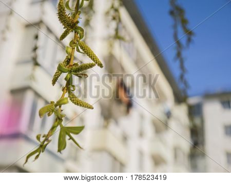Blooming green and yellow branch of the willow on the house blured background