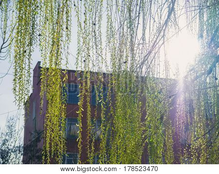 Branches of willow on a background with sunlight flares