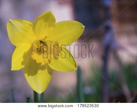 The blooming yellow daffodils on blured background