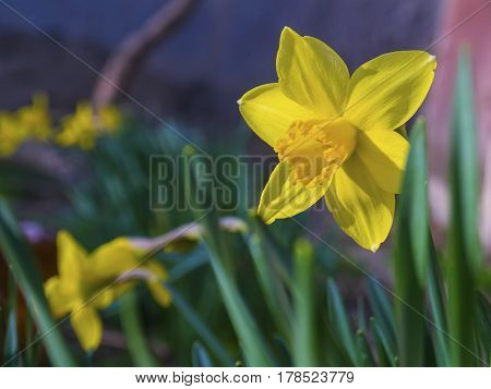 The bright vivid yellow daffodils flowers blooming