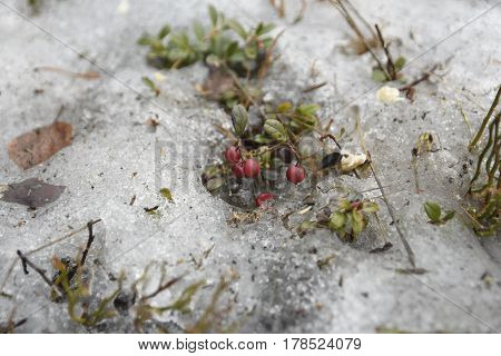 Frozen lingonberry from last summer in melting snow picture from the North of Sweden.