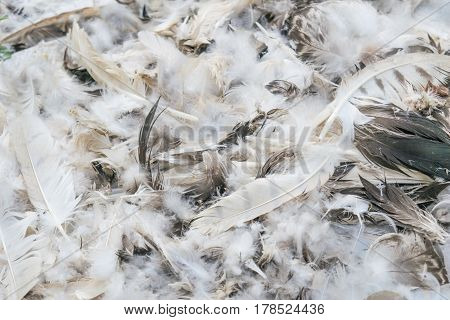 Feathers of chicken after killed for cook .