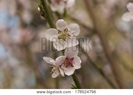 Detail of the flower of a peach tree in spring.