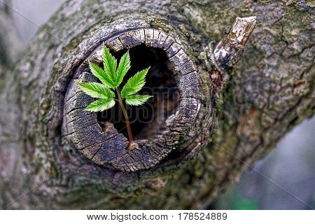 Green sprout and hollow in an old tree