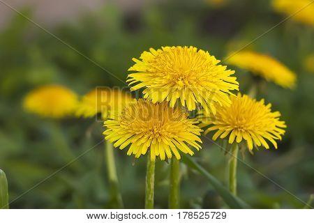 Fiore di tarassaco in primavera. Fioritura del fiore di tarassaco.