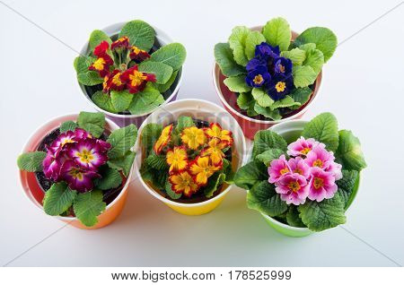 Top view on red yellow purple pink magenta primula flowers with green leaves in colored pots on white background