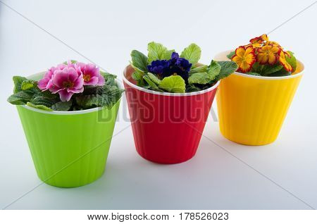 Beautiful pink violet yellow primula flowers in red green plastic pots isolated on white