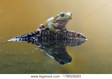 Frog on body croc skink on the water