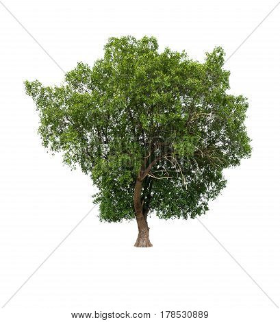 Tropical tree isolated on white background for usage