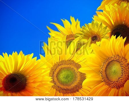 Blooming of sunflower field with blue sky