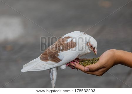 Pigeon feeding from hand on the street in Saigon Vietnam. Selective focus on pink pigeon.