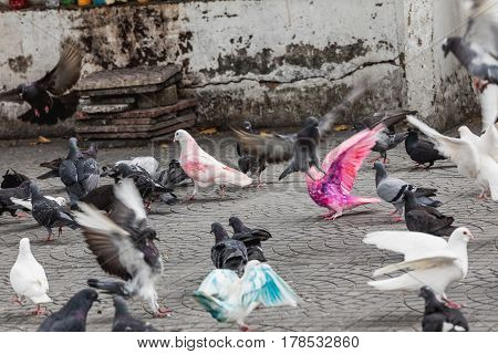 Many colorful pigeons on the street in Saigon Vietnam. Selective focus on pink pigeon.
