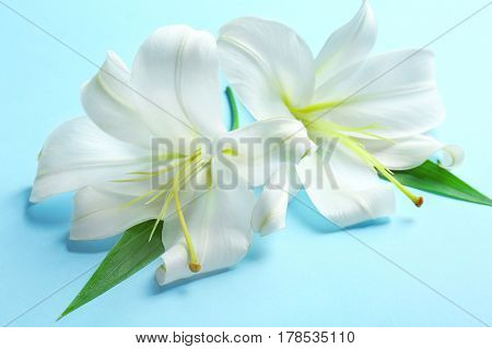 Beautiful white lilies on color background