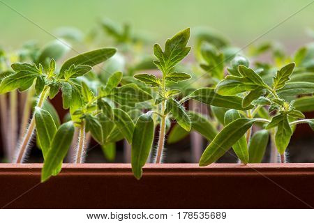 Tomato Seedlings Growing In A Greenhouse - Selective Focus, Copy Space