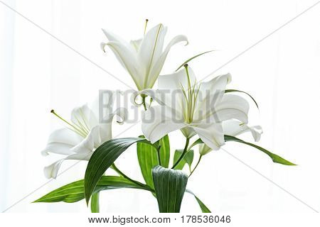 Beautiful white lilies on white background, closeup