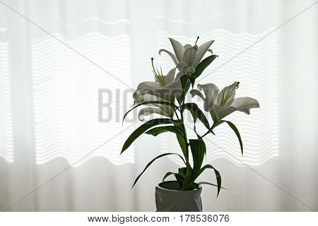 Beautiful white lilies on window background
