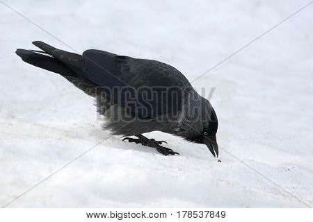 the jackdaw bird is looking for food in the snow