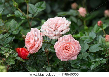 Roses Bush In The Garden At Spring