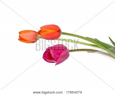 vibrant tulips isolated on white
