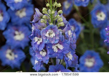 The Blue Delphinium At Hong Kong Flower Show