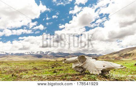 Yak Skull in Tagong grassland - Sichuan -China
