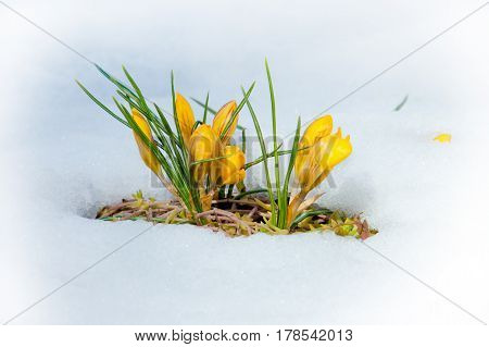Crocus spring flowers in the meadow with melting snow