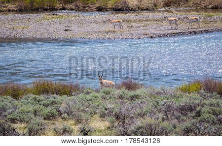 Small band of pronghorns walking along the banks of a sparkling blue river in summertime