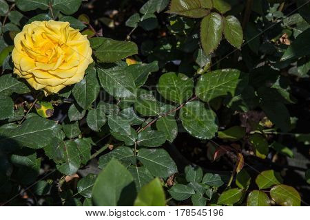 Flower Yellow rose in the foreground among green leaves