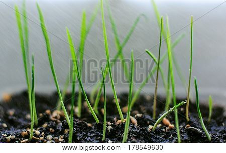 young new green wheat germ in spring in the ground