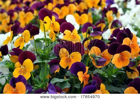 violas or pansys colorful summer bedding plants poster