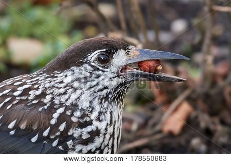 Closeup image of the eurasian nutcracker with a nut in its beak