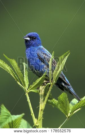 A male Indigo Bunting, Passerina cyanea sits on a green stalk in a field in spring