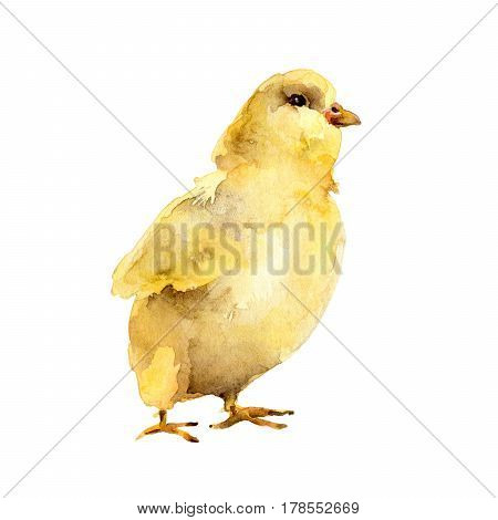 Easter symbol. Yellow watercolor chicken isolated on white background