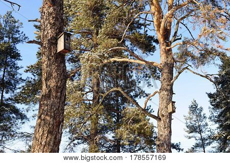 High pine trees and two birdhouse on blue sky background