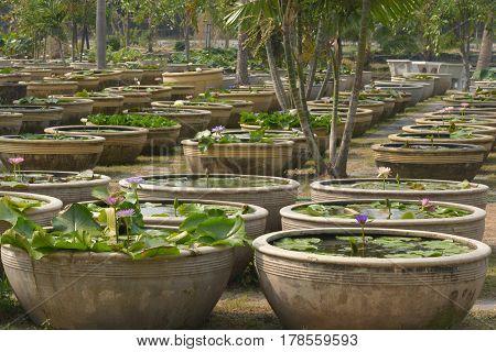 Group of lotus basin in lotus garden