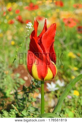 wild tulip similar to the flame of a bonfire in a forest glade in the Lower Galilee, Israel