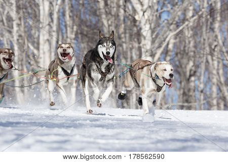 PETROPAVLOVSK-KAMCHATSKY KAMCHATKA PENINSULA RUSSIA - FEB 23 2017: Kamchatka Kids Competitions Sled Dog Race Dyulin (Beringia). Runs dog sled Alaskan husky young musher Krivogornitsyna Christina.