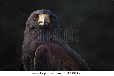 Close up image of a black and brown Harris hawk