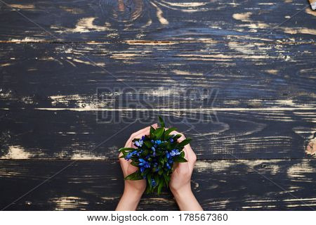 Female hands holding flowerpot with blue snowdrops on wooden grunge background. Nature. Place for a copy space