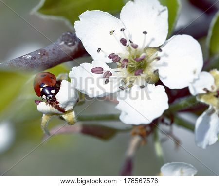 ladybug on blooming fruit tree branches. Close up