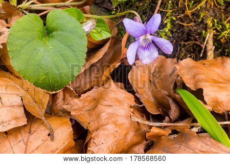 Violet pansy flower poking through beech leaves in Spring