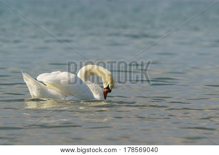 Beautiful white mute Swan (lat. Cygnus olor) is preening its feathers on the blue water